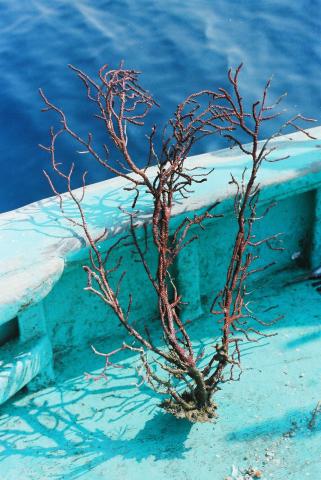 """Gorgone de corail rouge - Photographie en lien avec le corpus sonore """"La pêche traditionnelle varoise dans les années 1970"""""""